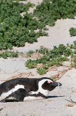 Pooched Penguin (peterkelly) Tags: digital canon 6d africa intrepidtravel capetowntovicfalls southafrica capepeninsula tablemountainnationalpark simonstown bouldersbeach africanpenguincolony africanpenguin penguin bird sleeping beach sand belly