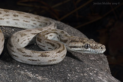 Oenpelli Python (Simalia oenpelliensis) (Jordan Mulder) Tags: oenpelli python simalia oenpelliensis wildlife reptile snake arnhemescarpment endemic top end