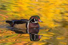_DSC7550 (sklachkov) Tags: bird birds waterbirds duck ducks woodduck fall colors light shapes water