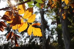 Καλημέρα! ~ Good morning! :-) (Argyro Poursanidou) Tags: leaf leaves autumn foliage yellow light sunlight sun φύλλα φύση φθινόπωρο ήλιοσ λιακάδα φωσ nature colorful κίτρινο
