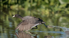 Triathlete (gseloff) Tags: americancoot bird running flying nature wildlife water reflection hyacinth horsepenbayou pasadena texas kayak gseloff