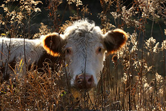 I Can Still See You (Diane Marshman) Tags: cow large farm animal brown white fur young immature goldenrod seed flowers dried nature perennial plant pa pennsylvania state weeds outdoors rural country scene