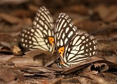 Tiger Browns (Orinoma damaris, Satyrinae, Nymphalidae) (John Horstman (itchydogimages, SINOBUG)) Tags: insect macro china yunnan itchydogimages sinobug entomology canon butterfly lepidoptera satyrinae nymphalidae 2 tumblr fb
