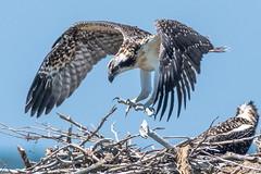 Perfect landing (xrayman.dd) Tags: osprey marshbirds ospreynest