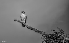 Under Grey Sky. (Igor Danilov Philadelphia) Tags: pride bird king prey power speed patience grip claws control life living legend allseeing bw mono sharp nature natural gray sky waiting framed