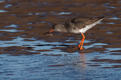Redshank (Artisanart) Tags: redshank bird nature wildlife east anglia norfolk beach titchwell coast feeding shrimps water sea