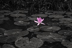 Loto (rraass70) Tags: canon d700 retoques rio agua flores ninbinh deltadelriorojo vietnam
