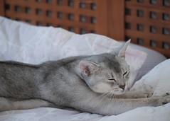 20190803_16_LR (enno7898) Tags: panasonic lumix lumixg9 dcg9 xvario 35100mm f28 cat pet abyssinian