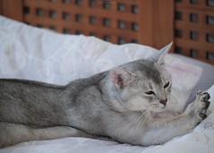 20190803_15_LR (enno7898) Tags: panasonic lumix lumixg9 dcg9 xvario 35100mm f28 cat pet abyssinian