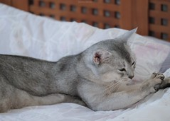20190803_14_LR (enno7898) Tags: panasonic lumix lumixg9 dcg9 xvario 35100mm f28 cat pet abyssinian