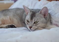 20190803_08_LR (enno7898) Tags: panasonic lumix lumixg9 dcg9 xvario 35100mm f28 cat pet abyssinian
