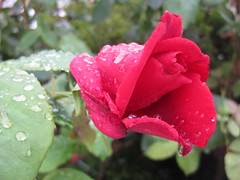 Raindrops on a Papa Meilland Bloom (raaen99) Tags: flower leaves rose leaf petals flora rosa petal foliage bloom bud oldfashioned red rouge australia melbourne victoria papameilland papameillandrose meillandinternational allainmeilland meillandinternationalrose meillandinternationalroses allainmeillandrose allainmeillandbreed water rain french raindrops droplet hybrid raindrop vermilion 1963 tearose hybridtearose hybridrose frenchrose