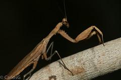 Mantis Hoja Dominicana / Dominican Leaf Mantis (Epaphrodita musarum)  Macho (Gogolac) Tags: fauna insectos islabeata islaadyacente location mantis otoño season republicadominicana