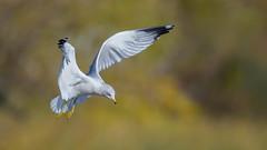 Ring-billed Gull  9358 (Paul McGoveran) Tags: bif bird birdinflight hendrievalley nature nikon500mmf4 nikond850 ringbilledgull wings coth5