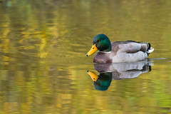 On Golden Pond (Tim Melling) Tags: anas platyrhynchos boschas mallard west yorkshire timmelling duck