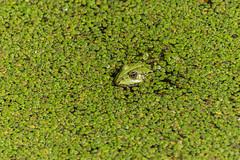 Camouflage (Giloustrat) Tags: pentax k3 frog green duckweed animal pound pentaxflickraward saariysqualitypictures exquisite image exquisiteimage