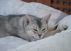 20190803_27_LR (enno7898) Tags: panasonic lumix lumixg9 dcg9 xvario 35100mm f28 cat pet abyssinian