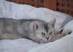 20190803_21_LR (enno7898) Tags: panasonic lumix lumixg9 dcg9 xvario 35100mm f28 cat pet abyssinian