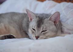 20190803_13_LR (enno7898) Tags: panasonic lumix lumixg9 dcg9 xvario 35100mm f28 cat pet abyssinian