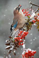 Jaybird, Nötskrika (davidshred) Tags: jaybird nötskrika