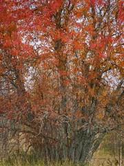 Rowan in autumn. (Fjällkantsbon) Tags: lappland doroteakommun sverige högland evamårtensson höst doubleexposure impressionist autumn rowan lapland