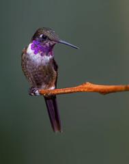 Purple-throated woodstar (Eric Gofreed) Tags: calliphloxmitchellii ecuador hummingbird purplethroatedwoodstar