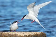 Arctic Tern (Phil Gower Bird Photography) Tags: iceland arctic tern bird flight nature wildlife