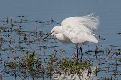 DSC3786  Little Egret... (Jeff Lack Wildlife&Nature) Tags: littleegret egret egrets avian animal animals birds bird birdphotography wildlife wildbirds wetlands waterbirds waterways waders wildlifephotography jefflackphotography lakes ponds countryside coastalbirds coastline coast reservoirs riverbirds reeds reedbeds rivers scrapes mudflats saltmarsh marshland marshes estuaries estuary nature naturephotography nikon ornithology ngc npc