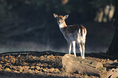 Fallow Fawn in Autumn (andy_AHG) Tags: wildlife autumn stag fallowdeerbuck antlers animals nikond300s yorkshire