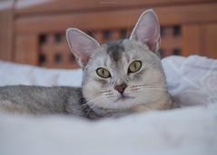 20190803_03_LR (enno7898) Tags: panasonic lumix lumixg9 dcg9 xvario 35100mm f28 cat pet abyssinian