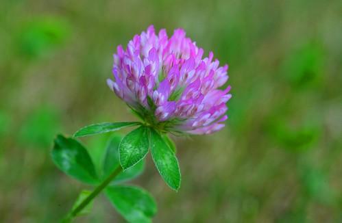 Munich - Clover Flower