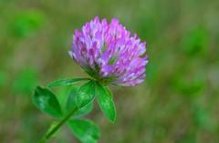 Munich - Clover Flower (cnmark) Tags: germany munich deutschland münchen bayern bavaria amhart macro makro clover shamrock klee flower blüte nature natur ©allrightsreserved