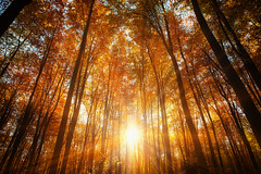 shining through trees (proffkom_) Tags: autumn forest tree light october ukraine bukovina