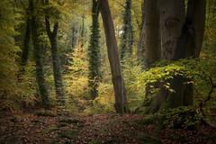 Autumn Fires (Andrew G Robertson) Tags: autumn woodland tree forest burnham beeches