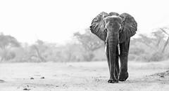 Hwange National Park (Francesca Bullet) Tags: hwange zimbabwe africa safari wild wildlife wildanimal wildnature animals animal elephants blackwhite bush action nature landscape trees contrast view ears wildfree free
