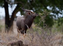 Nyala Antelope, young male. (leendert3) Tags: leonmolenaar southafrica krugernationalpark wildlife wilderness wildanimal nature naturereserve naturalhabitat mammal nyala coth5 ngc sunrays5 npc