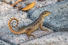 Curly Tailed Lizard (Linda Martin Photography) Tags: usa wildlife leiocephalidae nature curlytailedlizard floridakeys reptile us leiocephaluscarinatus florida naturethroughthelens coth coth5 ngc sunrays5 npc