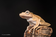 Borneo Eared Frog - Hmm where to next? D50_8184.jpg (Mobile Lynn) Tags: borneoearedfrog amphibian frog nature captive bonyheadedflyingfrog fauna fileearedtreefrog polypedatesotilophus wildlife coth specanimal ngc npc coth5