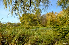 Clear Autumn Day (t-maker) Tags: river riverside riverfront backwater creek pool tributary riverbank bank beach water nature plant yellow green greenery vegetation foliage waterlily weed grass ground glade clearing tree leaves trunk stem bole rind bark grove copse wood forest bush shrub undergrowth brushwood thicket twig branch rush reed cane duckweed tangle sky clear reflection shadow autumn fall day daytime sunlight light gleam glow sheen luster brilliance waterscape landscape scenery dnieper dnipro kiev kyiv ukraine europe hdr nikon d5100