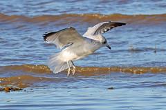 Common Gull (Roy Lowry) Tags: commongull laruscanus hoylake