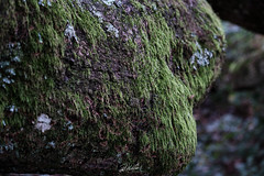 Moss Oak Lichen onThe Oak of Breslon (PhrozenTime/WAHLBRINKPhoto) Tags: lechenedebreslon biology plant tree deciduous quercuspetraea cornishoak durmastoak sessileoak timeofyear autumn fall mosscovered moss lichen baindebretagne illeetvilaine35 france