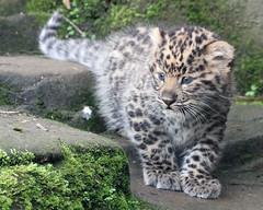Amur Leopard Cub (Buggers1962) Tags: amurleopard amurleopardcub leopardcub leopard colchesterzoo flickrbigcats bigcat canon7d canon nature