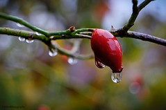 the beauty of the rain (Fay2603) Tags: fujixt1 fujifilm makro water wasser tropfen drop waterdrop natur red rot rosso reflection