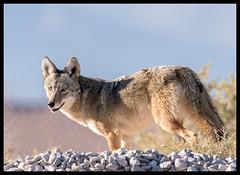 Coyote (Ed Sivon) Tags: america canon nature lasvegas wildlife western wild southwest desert clarkcounty flickr vegas henderson nevada