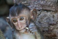 Baby monkey (degreve.sarah) Tags: singe monkey bébé baby regard look thailande nature face visage animal portait eyes yeux