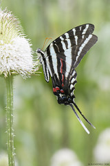 Butterfly 2019-170 (michaelramsdell1967) Tags: butterfly butterflies nature macro animal animals insect insects bug bugs beauty beautiful pretty lovely green white black bokeh vivid vibrant detail delicate fragile meadow garden upclose closeup thistle zebra zen