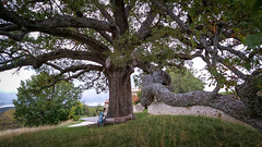 Under the very old oak (The Eyes of Lo) Tags: oak tree cycling cycle cyclist cyclingphotos cyclinglife cyclingpics countryside bicycle amateur nature new