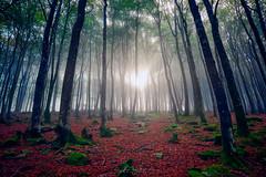 El bosque (PhotoDyaz) Tags: bosque contraluz montaña niebla tronco árbol backlight forest mountain tree trunk landscape paisaje fog nopeople photodyaz joséfélixgarcíadíaz navarra spain pirineos pyrenees