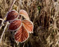 Leaf (Kjetil Øvrebø) Tags: outdoor nature plant leaf raspberry colors closeup winter frost autumn