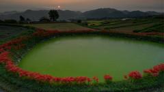 御所・彼岸花7・Gose (anglo10) Tags: 御所市 奈良県 japan 彼岸花 flower 日の出 sunrise